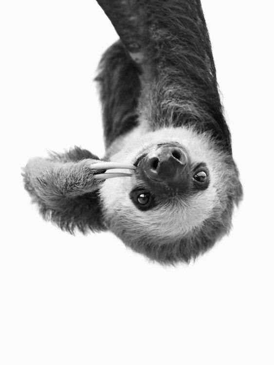 Sloth BW Fototapet