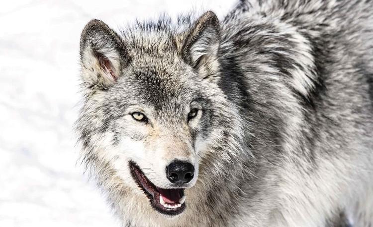 Wolf Animal Fototapet