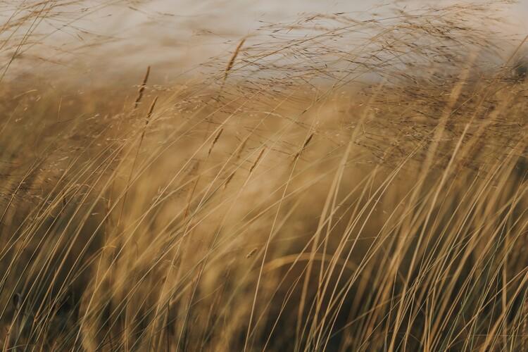 Field at golden hour Fototapeta