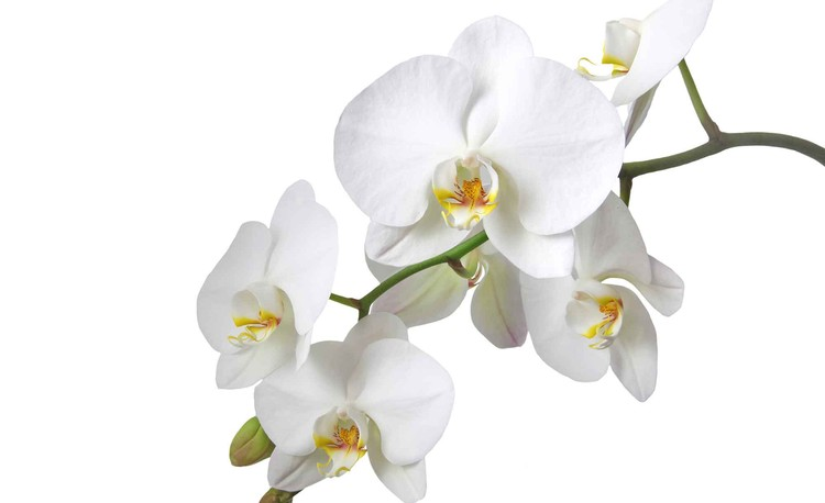 Flowers Orchids Nature White Fototapeta