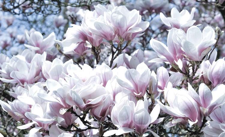 Blumen Magnolien Fototapete