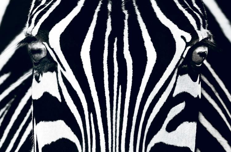 Zebra - Black & White Fototapete
