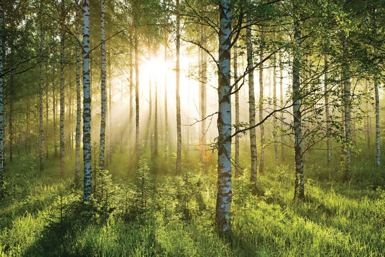Skov - Sunbeams Fototapet