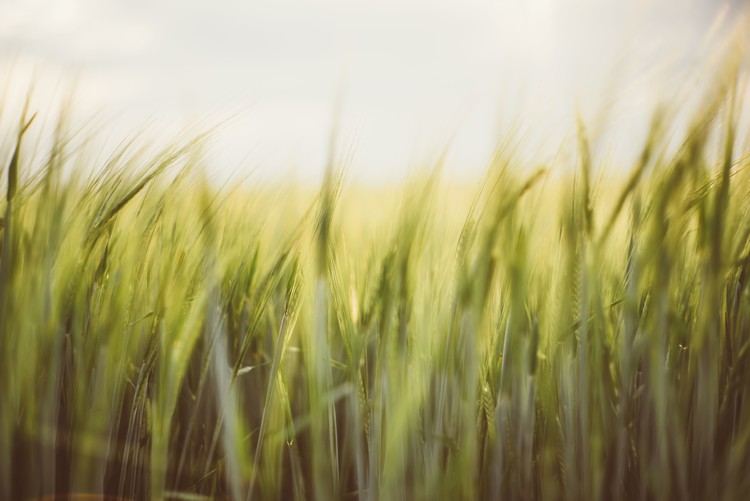 Young cereal fields Fototapet