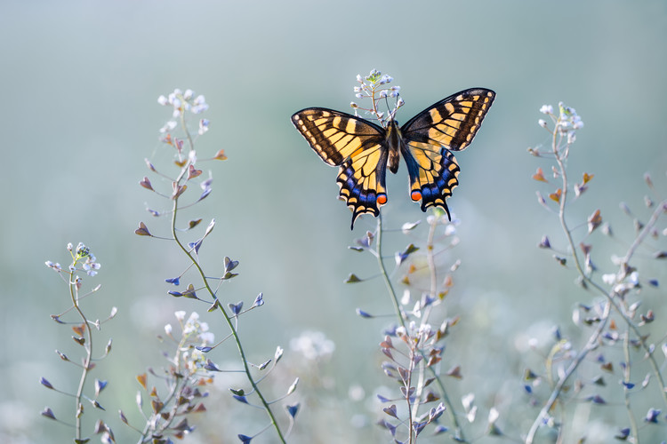 Swallowtail beauty Fototapeta