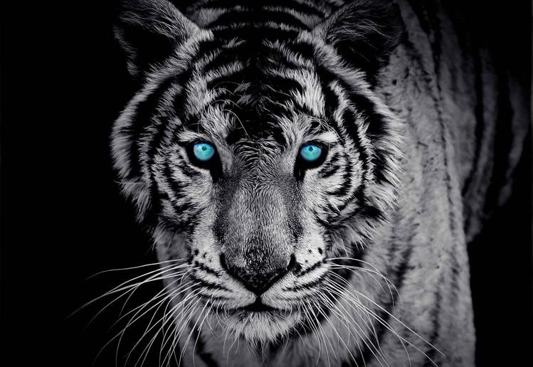 Fototapeta Tiger zvíře