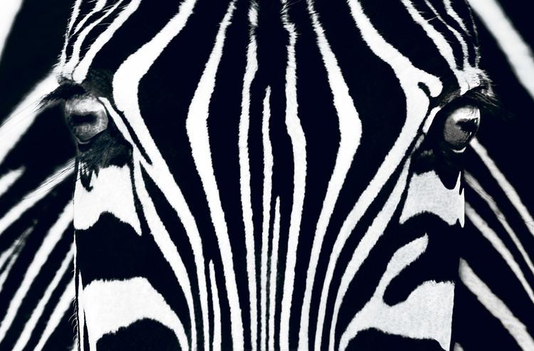 Fototapeta Zebra - Black & White
