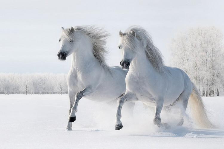 Glasbilder Horses - Two White Horses