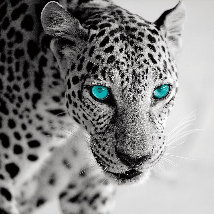 Glasbilder Leopard b&w