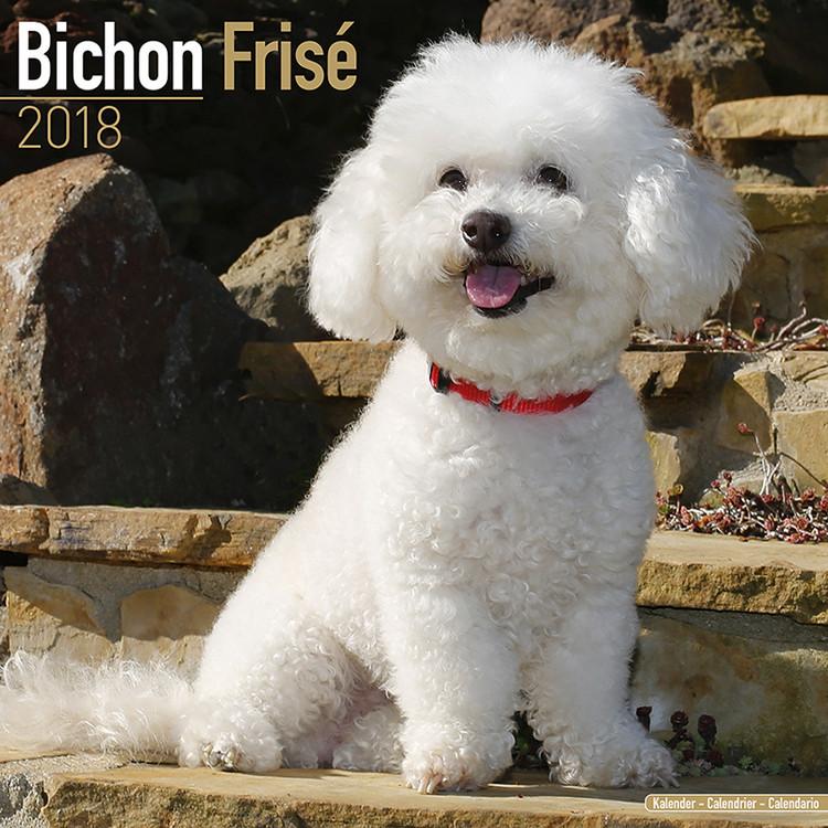Bichon Frise Kalender 2019