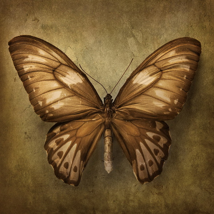 Kunst op glas Butterfly - Brown