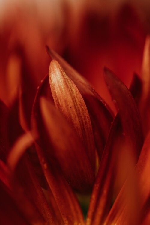 Kunstfotografier Abstract detail of red flowers