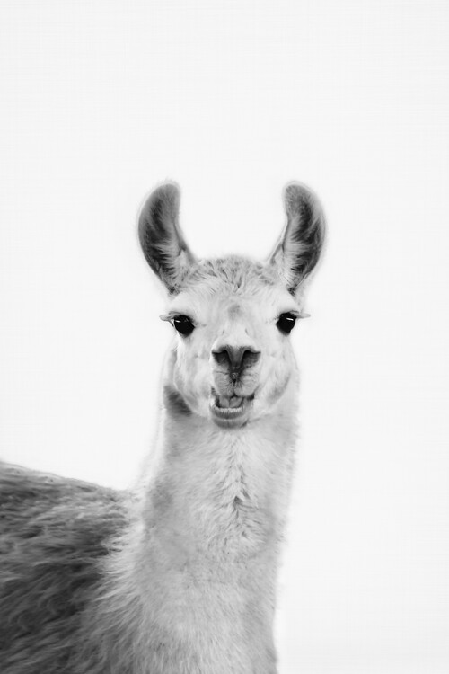 Kunstfotografier Happy llama