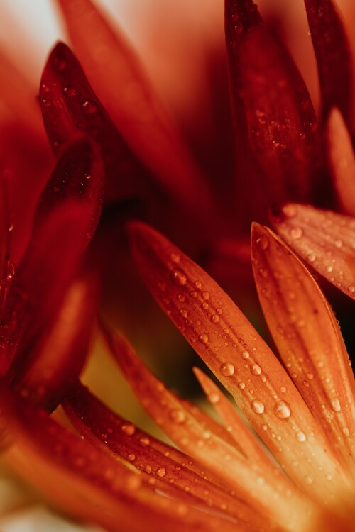 Kunstfotografier Detail of red flowers