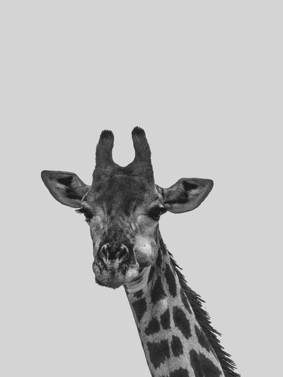 Kunstfotografier Grey giraff
