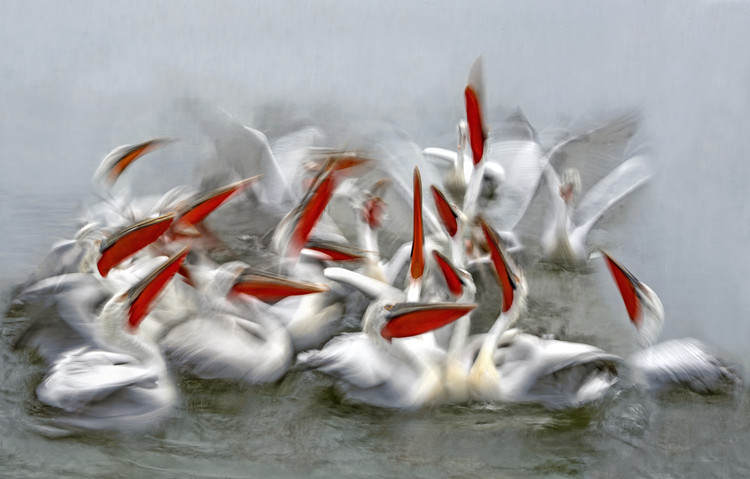 Leinwand Poster Pelicans in motion blur