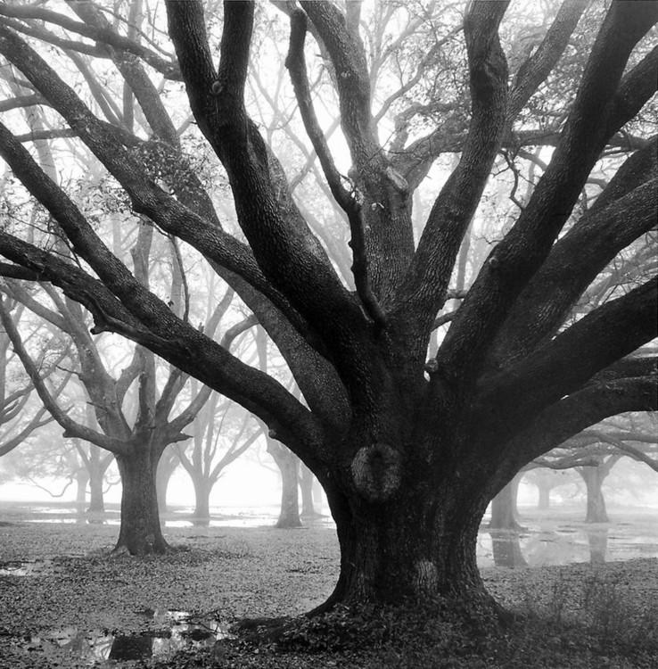 Oak Grove, Winter Festmény reprodukció