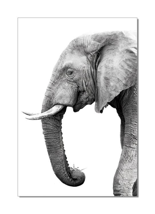 Elephant - African Elephant w&b Obraz