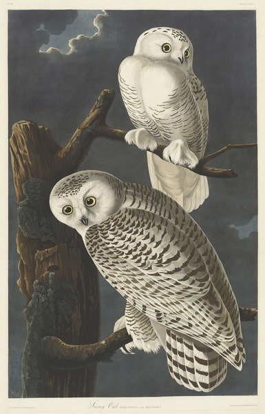 Obraz na plátně Snowy Owl, 1831