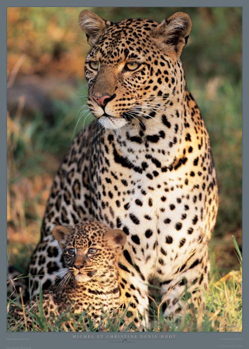 Panthera pardus - Masa? Mara - Kenya Festmény reprodukció