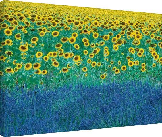 Cuadros en Lienzo David Clapp - Sunflowers in Provence, France