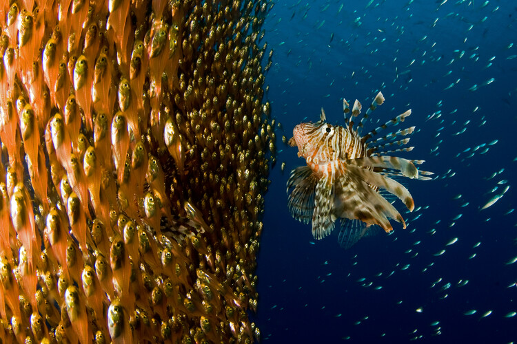 Cuadros en Lienzo Lion fish staring at its lunch