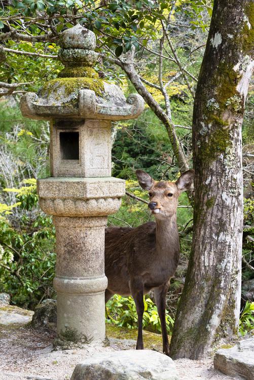 Cuadros en Lienzo Deer in Miyajima