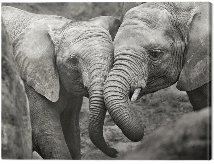 Cuadros en Lienzo  Marina Cano - Elephants in Love