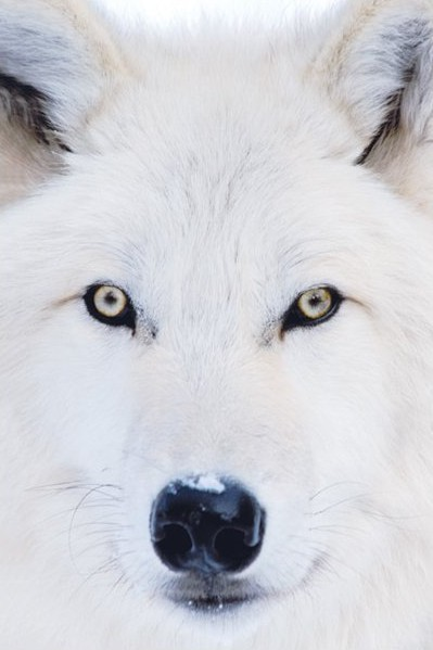 Plagát Arctic wolf