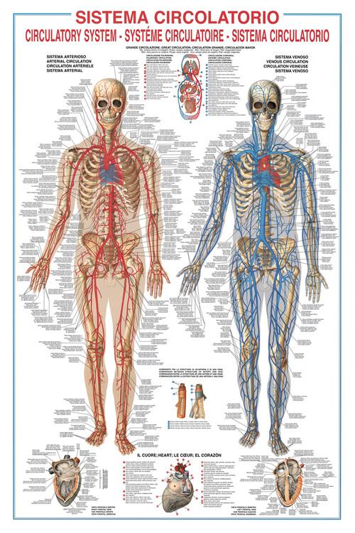 Plagát Circulatory system