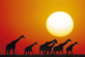 Plagát Giraffe sunset