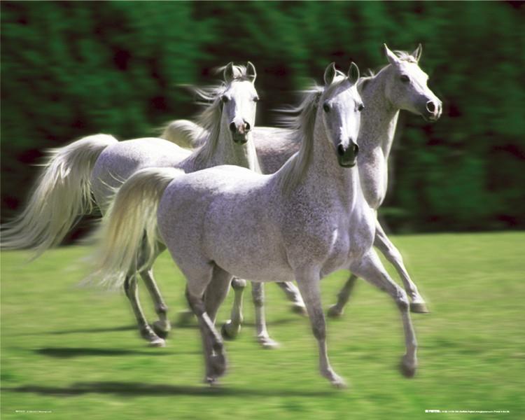 Plagát Horses - white stallions