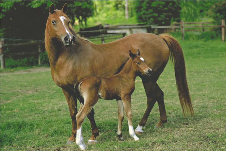 Plagát Mare and foal