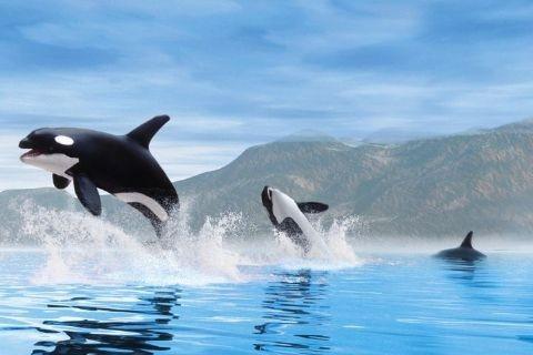 Plagát Orca whales