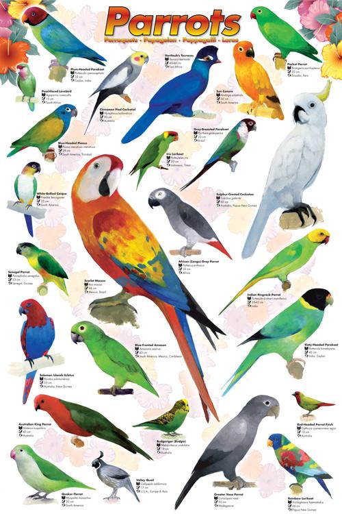 Plagát Parrots