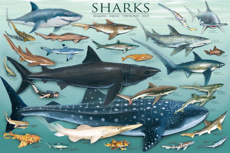 Plagát Sharks
