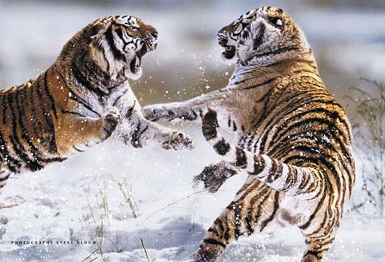 Plagát Siberian tigers