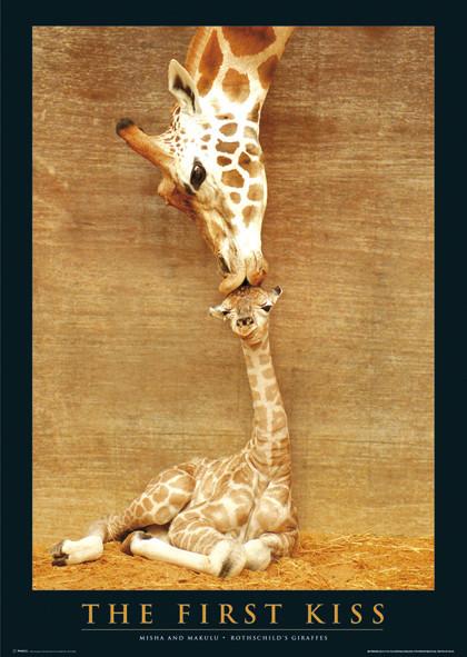 Plagát The first kiss - giraffes