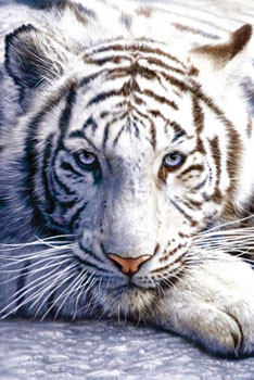 Plagát  White tiger