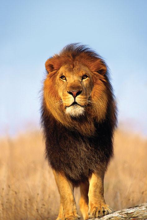 African lion Plakat