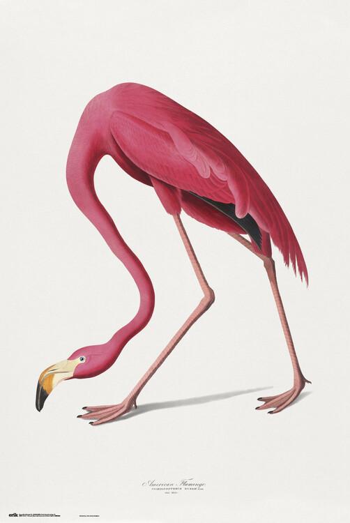 Plakat American Flamingo
