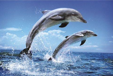 Dolphins - duo Plakat