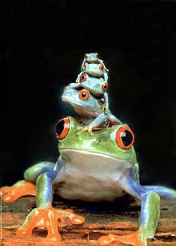 Frogs - 5 frogs Plakat