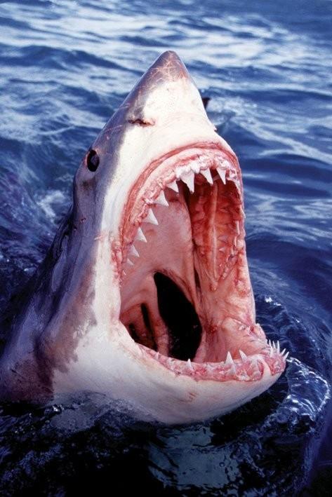 Great white shark Plakat