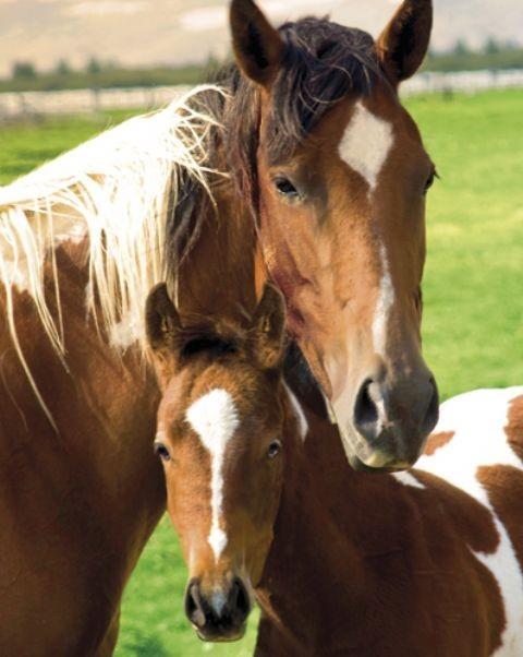 Horses - mare & foal Plakat