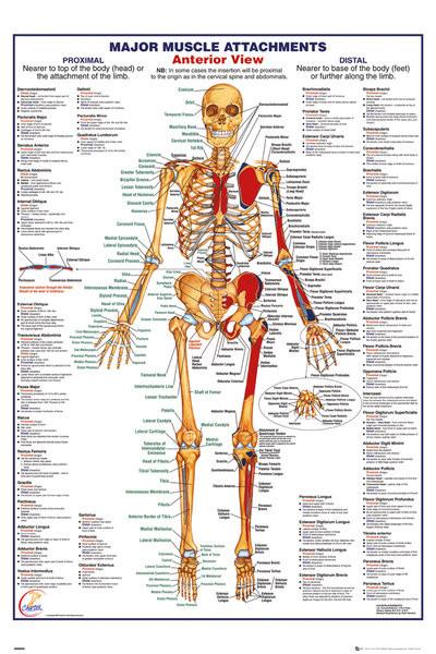 Menneskelige Krop - Major Muscle Attachments Anterior Plakat