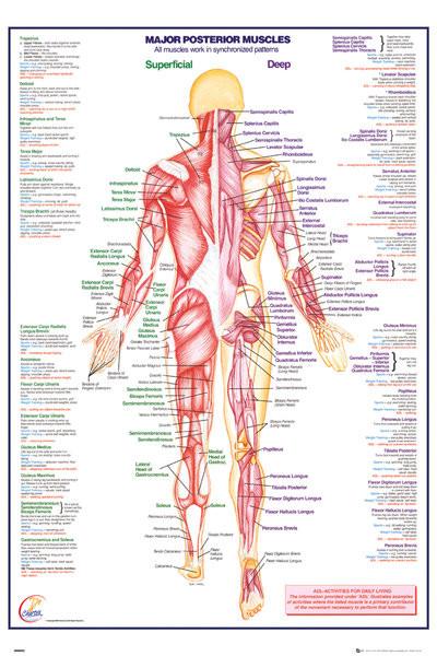 Menneskelige Krop - Major Posterior Muscles Plakat