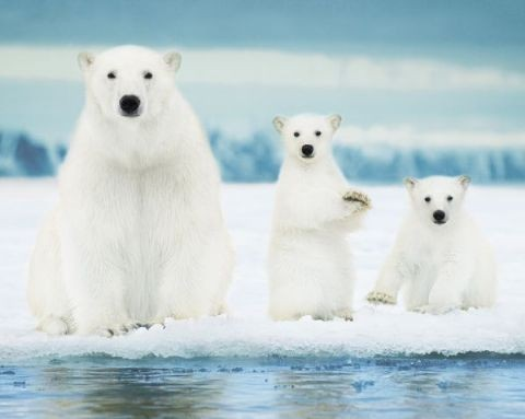 Polar Bears Plakat