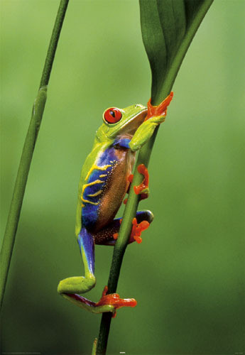 Red eyed three frog Plakat