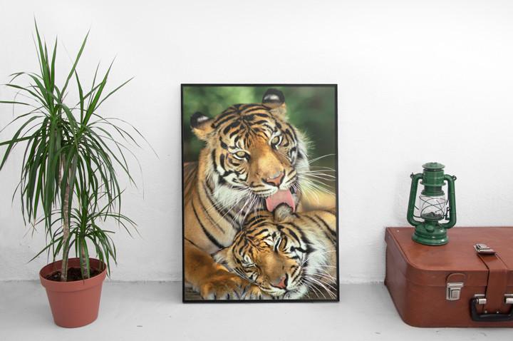 Tigers - mother's love Plakat